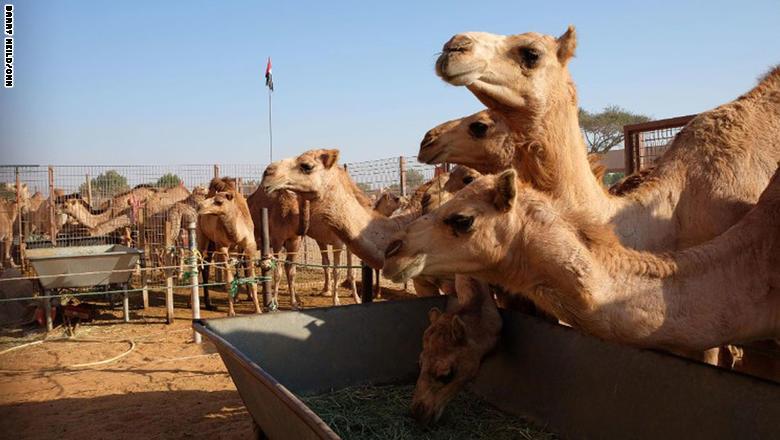 يقبل كثيرون في إمارة أبوظبي لشراء الجِمال، وكثير منهم يقصد سوق الجمال القديم، الذي يفتح أبوابه في السادسة صباحاً.