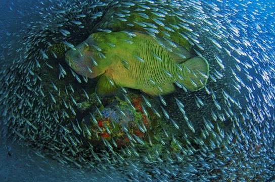 """"""" السمكة الزجاجية"""" (GLASS FISH)"""