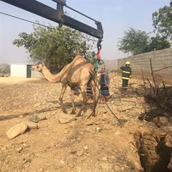"""فرق الإنقاذ تخرج """"جملا"""" سقط بصرف صحي في محافظة هروب"""