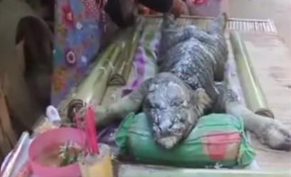 بالفيديو.. ولادة مخلوق يجمع بين خصائص التمساح والجاموس بتايلاند