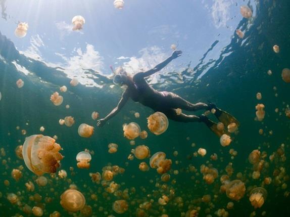 """بحيرة """"قناديل البحر"""" (Jellyfish Lake)"""