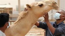 أخبار 24   وزارة الصحة تعتزم تطعيم الجمال للقضاء على فيروس  كورونا