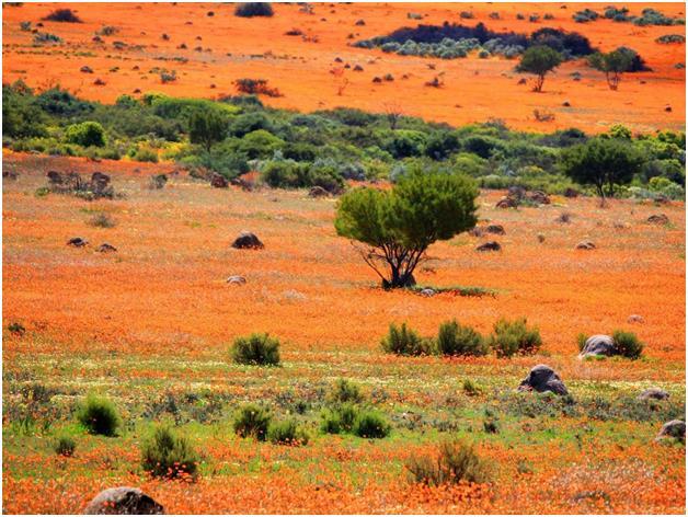 """منطقة """"نامكوالند"""" الصحراوية جنوب ناميبيا، والتي تمتد على مسافة 600 ميل، والتي تمتلىء في كل ربيع بالزهور البرتقالية والبيضاء، ل"""