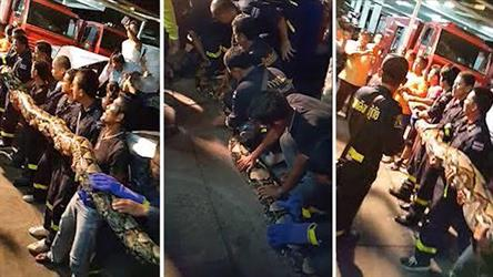 17  شخصًا يمسكون ثعبانًا عملاقًا بالقرب من مطعم تايلاندي – فيديو