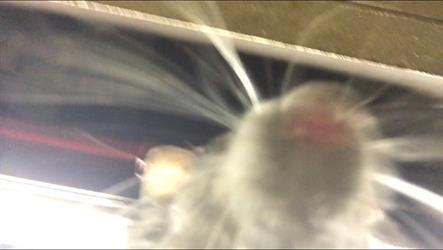 """فأر يجلس على حجر رجل نائم ليلتقط """"سيلفي"""" من جواله – فيديو"""