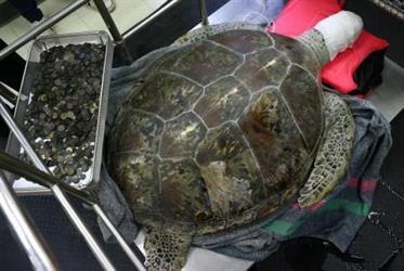 """استخراج 915 عملة معدنية من بطن سلحفاة بحرية تدعى """"حصالة"""" في تايلاند"""