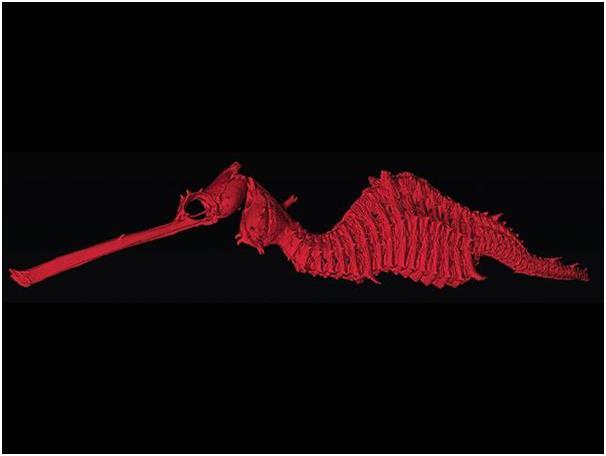 """تم اكتشاف تنين البحر العشبي """" Phyllopteryx dewys"""" في أستراليا، وهو نوع مختلف عن الأنواع الشائعة لتنانين البحر، يبلغ طوله نحو 1"""