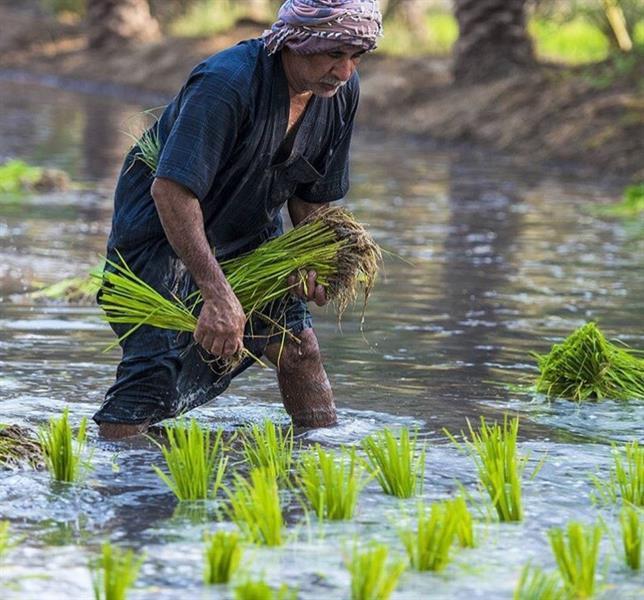 تعرف على الأرز السعودي الأغلى في العالم.. أحمر اللون ويواجه خطر الانقراض (صور)