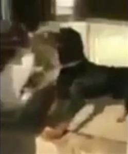 مقطع وحشي لرجل يقدم قطة حية طعامًا لكلابه المفترسة يثير استنكارًا واسعًا