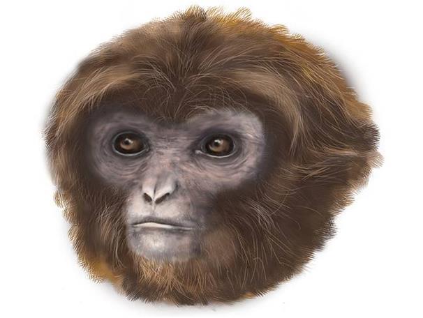 """ترجع أنثى القرد هذه إلى11,6 مليون سنة، أطلق عليها مكتشفوها اسم """"لايا""""، عُثر على بقايا جثتها في مكب للنفايات في إسبانيا، يتراو"""