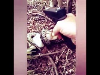 إطلاق نارعلى ثعبان ضخم التفّ على ماعز بمزرعة في أمريكا