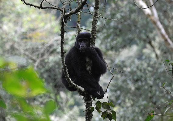 حديقة بويندي الوطنية في أوغندا، وهي غابة استوائية تضم أقل بقليل من نصف أعداد الغوريلا الجبلية المهددة بالانقراض والمتبقية في ا