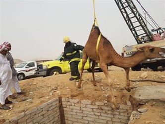 """شاهد.. """"مدني الليث"""" ينقذ ناقة وابنتها سقطتا في حفرة صرف صحي"""