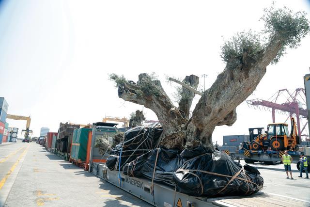 شجرة زيتون عمرها 1400 أوروبا