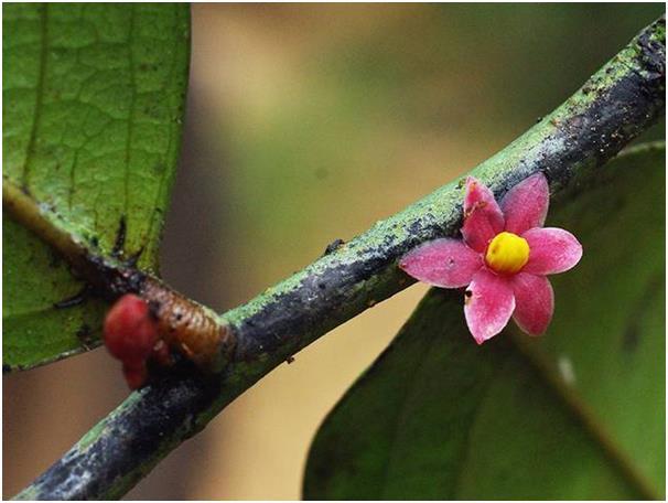 """تم اكتشاف شجرة """"Sirdavidia solannona"""" المزهرة والفريدة من نوعها بالقرب من الطريق الرئيسي للحديقة الوطنية """"Monts de Cristal"""" في"""