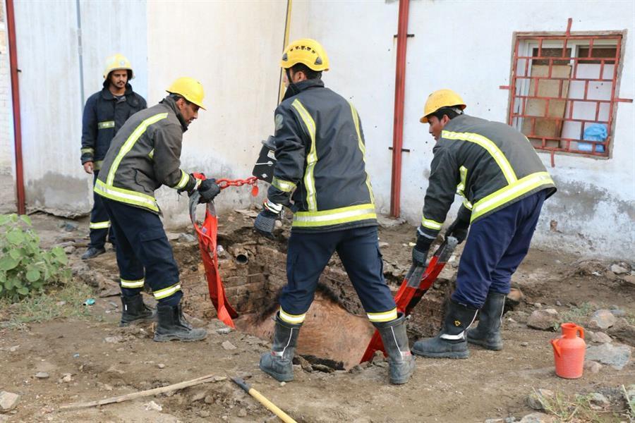 بالصور.. مدني مكة المكرمة ينقذ ناقة سقطت في حفرة