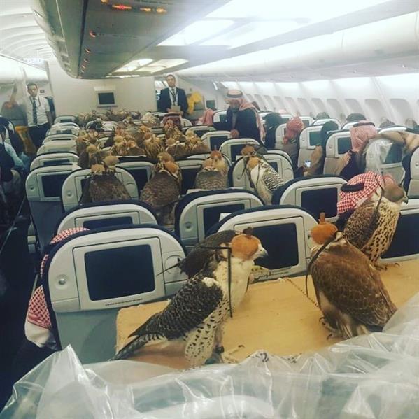 بالصورة.. ثمانون صقرا في طائرة متجهة لجدة.. قيمتها تتجاوز 600 ألف دولار