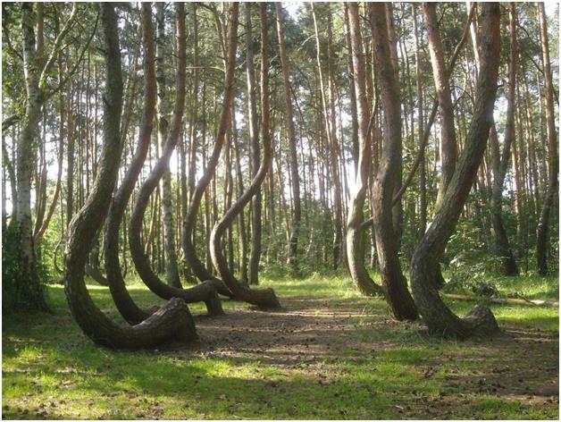 """""""الغابة الملتوية"""" غرب بولندا، وتتكون من 400 شجرة صنوبر فريدة من نوعها، حيث أن جذوعها كلها نمت بشكل ملتوي بزاوية 90 درجة متجهة"""