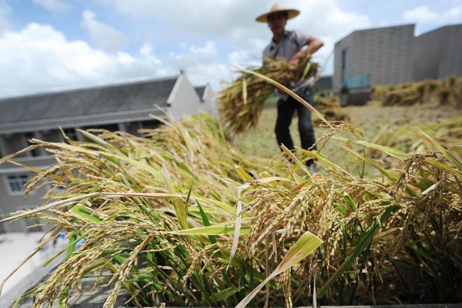 فلاح يزرع الأرز على سقف منزله بشرق الصين