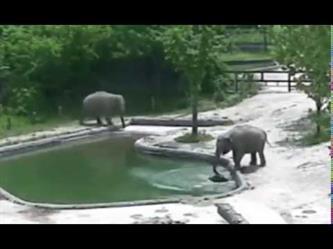 """ردة فعل """"أنثى فيل"""" تركض مسرعة حين سقط ابنها في بركة مياه"""