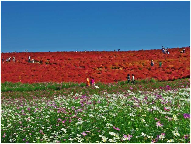 """شاطىء البحر بارك في مدينة """"ايباراكي"""" اليابانية، وهي حديقة أزهار تتغير وفقاً للمواسم، وتمتد على مساحة 470 فداناً، وتشتعر بأزهار"""